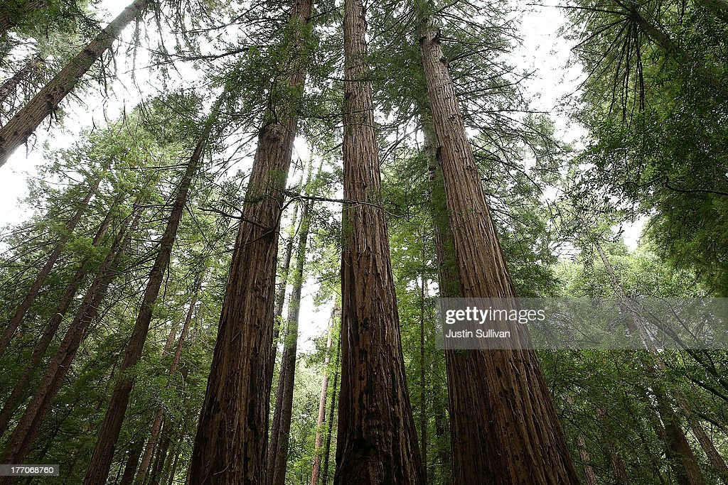Coastal Redwood trees stand at Muir Woods National Monument on August 20, 2013 in Mill Valley, California. A four-year study by the Save the Redwoods League called 'the Redwoods and Climate Change Initiative' found that due to changing environmental conditions, California's coast redwoods and giant sequoias are experiencing an unprecedented growth surge and have produced more wood over the past century than any other time in their lives.