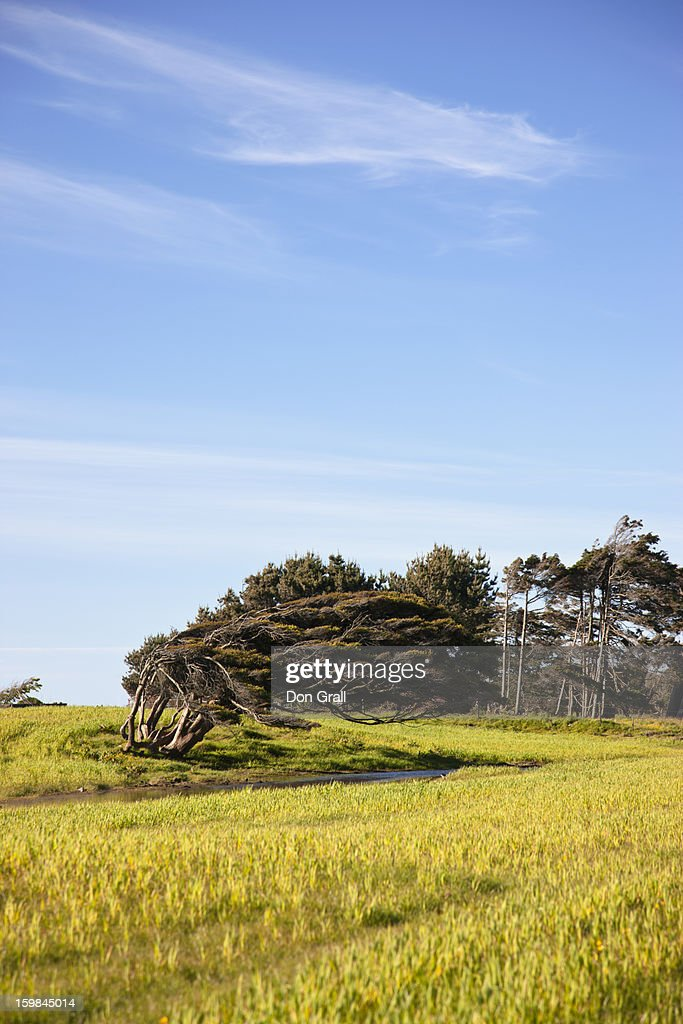 Coastal tree bent under constant wind pressure : Stock Photo