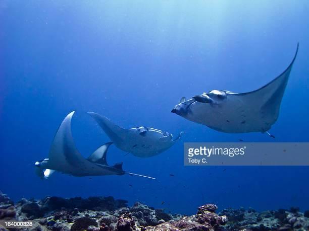 3 Coastal/Reef Manta Rays (Manta alfredi)