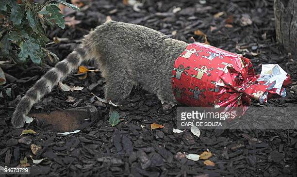 A Coati gets its head stuck inside a wrapped christmas present as it tries to reach food inside it during a photocall at London Zoo London on...