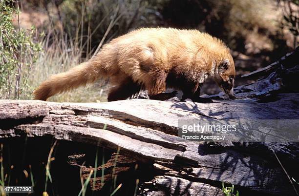 'A coati or coatimundi Nasua nasua at the ArizonaSonora Desert Museum These gregarious beasts are difficult to observe in the wild they roam for...