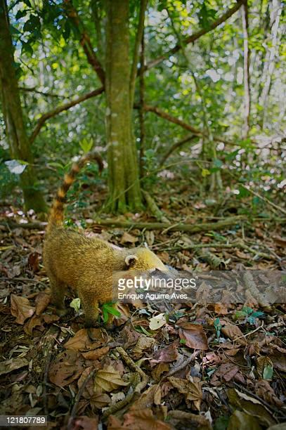 Coatimundi (Nasua nasua) foraging for food on jungle floor, Argentina/Brazil