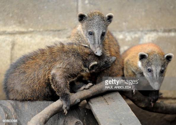 Coatis born in captivity two months ago are seen on November 6 2009 at the Santa Fe Zoo in Medellin Antioquia Department Colombia AFP PHOTO/Raul...