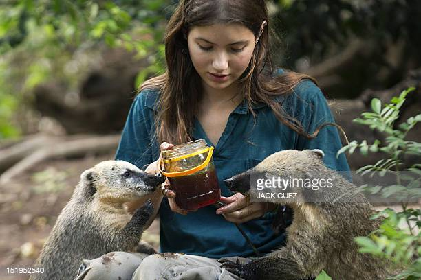 Coatis enjoy honey given to them by a zoo keeper at the Israeli zoo of Ramat Gan north of the Mediterranean coastal city of Tel Aviv on September 13...