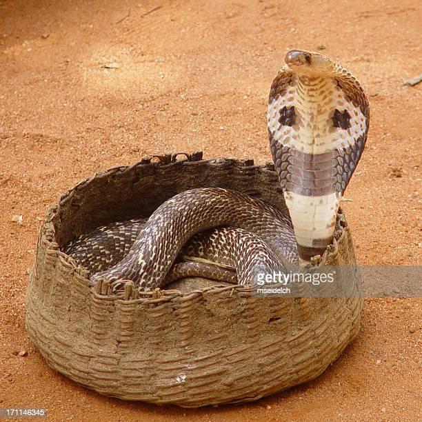 Cobra Snake in basket