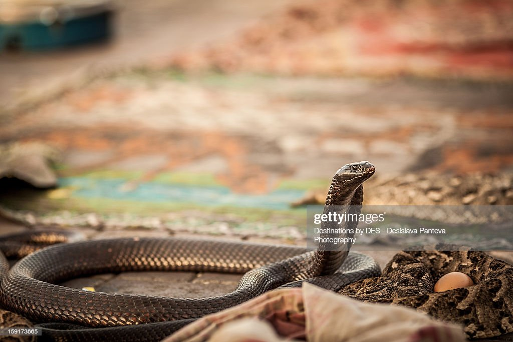 Cobra snake : Stock Photo