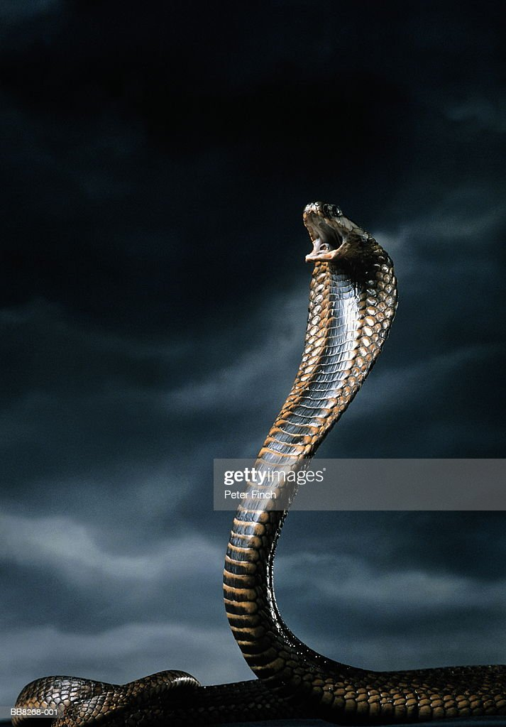 Cobra with front part of body raised and hood expanded : Stock Photo