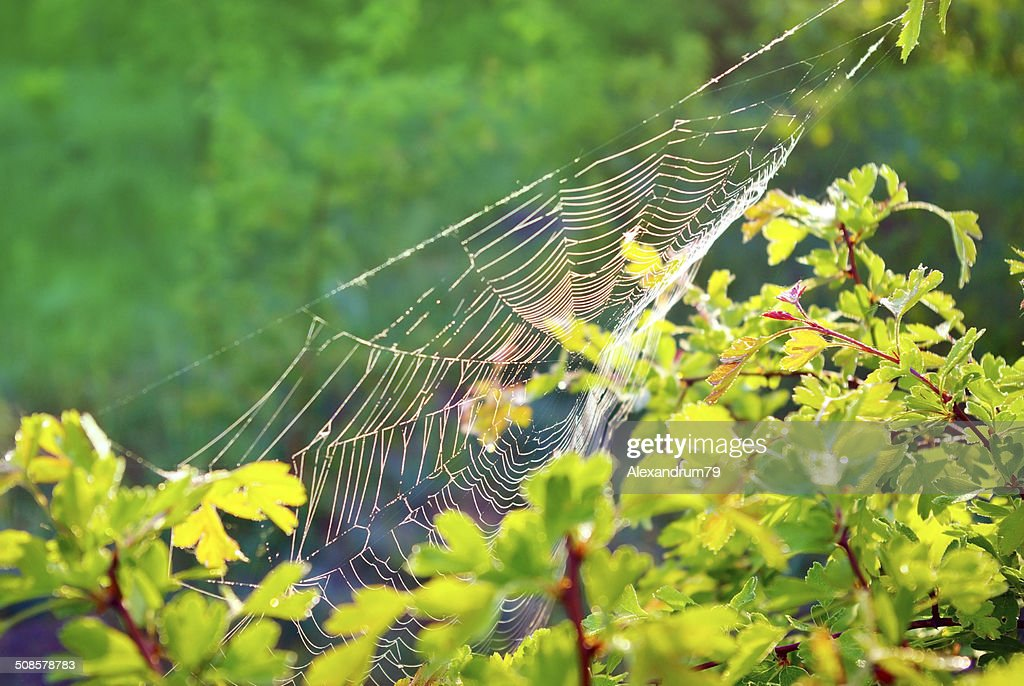 Cobwebs on a young tree in the morning in forest. : Stock Photo