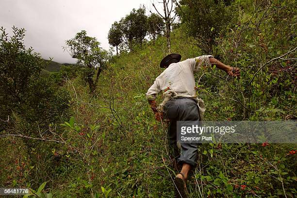 A coca farmer walks among his plants December 21 2005 in the town of Coroico in the Yungas Bolivia Evo Morales the newly elected Bolivian president...