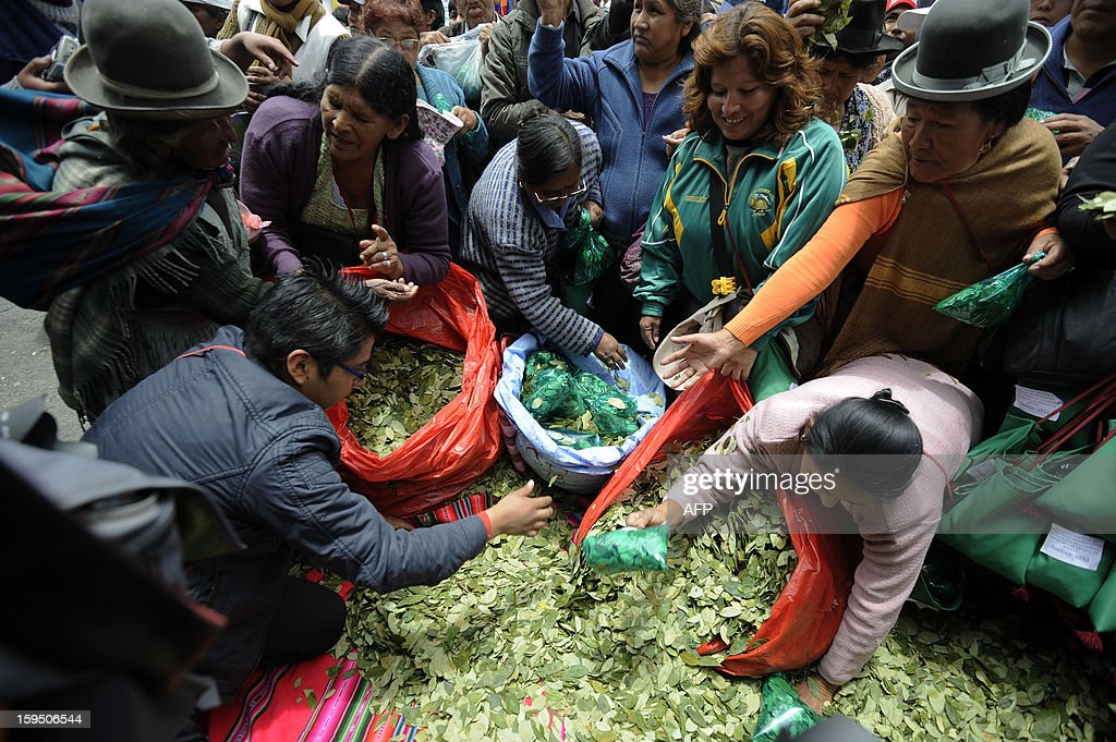 Coca growers fill bags with coca leaves during a celebration for the reincorporation of Bolivia to the UN Convention Against Illicit Traffic in Narcotic Drugs in La Paz on January 14, 2013. 'The coca leaf is not any more seen as cocaine (..), it is a victory of our identity' said Bolivian President Evo Morales. AFP PHOTO/Jorge Bernal