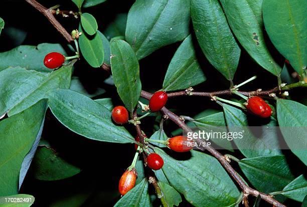 Coca Plant fruit Erythroxlyaceae Peradeniya Botanical Garden Kandy Sri Lanka