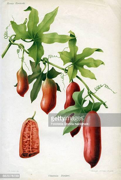 Coccinia dinteri family Cucurbitaceae Table chromolithographic color 'Revue Horticole' Print JL Goffart Brussels approx 1850