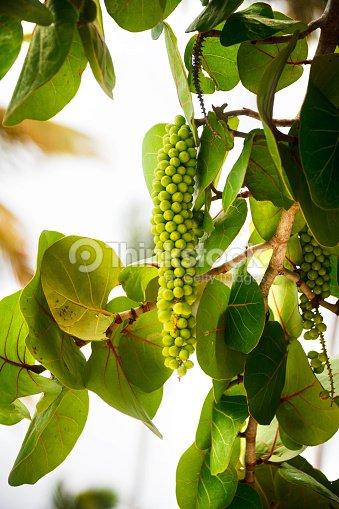 coccoloba uvifera in punta cana stock photo thinkstock