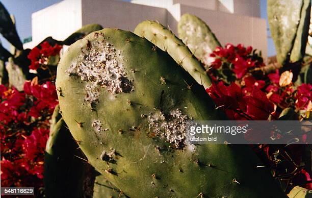 Cochenille Blattläuse Zucht auf Lanzarote Das Blut der Läuse dient als Farbstoff 00031995