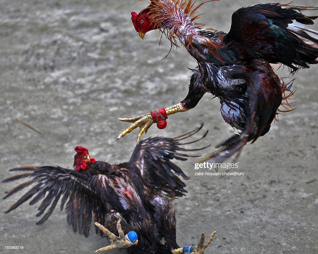 Cock fight : Stock Photo