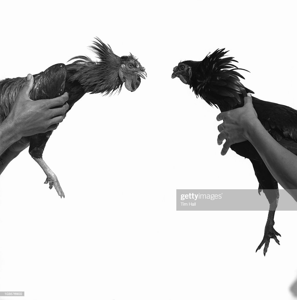 Cock fighting : Stock Photo
