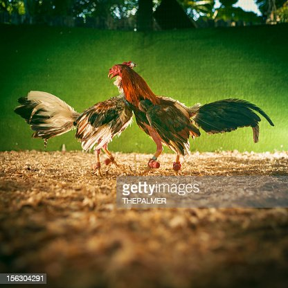 cock fighting : Stock Photo