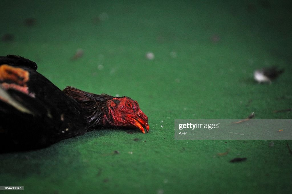 A cock lies on the pit after a fight at the 'Pico de Oro' cockpit in Cali, Valle del Cauca department, Colombia, on March 23, 2013, during the IX International Tournament of Cocks. Cockfighters of Peru, Dominican Republic, Puerto Rico, Venezuela, Colombia and Ecuador take part in this tournament. AFP PHOTO/Luis ROBAYO