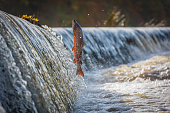 Male Salmon jumping the Weir on the river Boyne at Navan, Co Meath, Ireland
