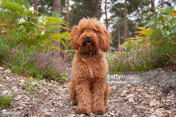 Cockapoo By Plants On Field
