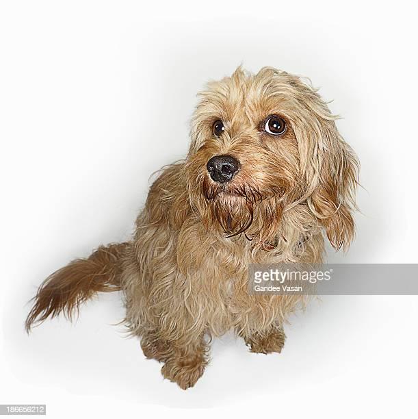 Cockapoo Dog Looking Up