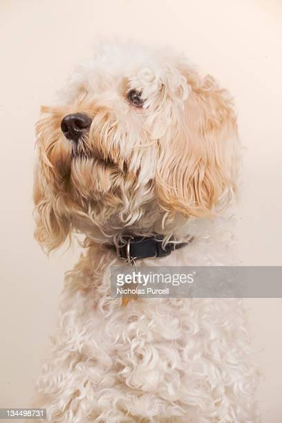 Cockapoo dog looks heroic