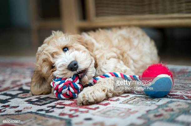 A cockapoo playing with a toy on the floor