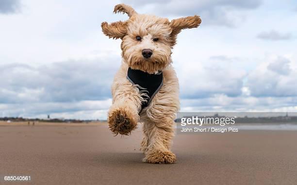 A cockapoo running towards the camera on a beach