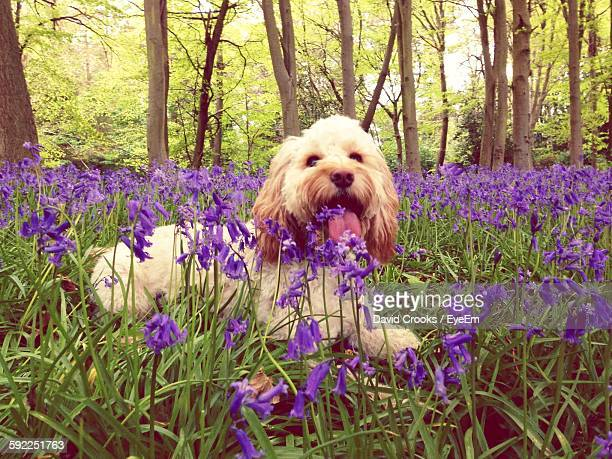 Cockapoo Surrounded By Wildflowers In Forest