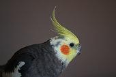 background textured wallpaper inspiration design Australia  Okame parrot