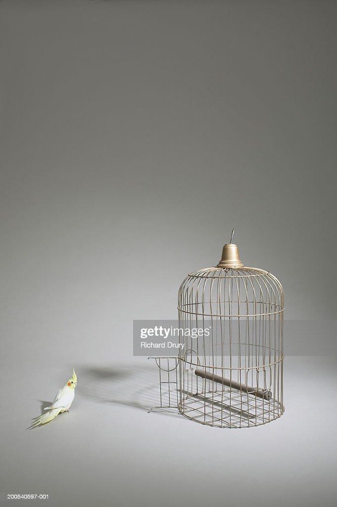 Cockatiel (Nymphicus hollandicus) standing beside  cage with door open
