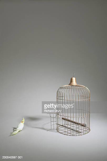 Cockatiel (Nymphicus hollandicus) standing beside  cage with door open