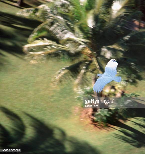 Cockatoo Flying over Palms