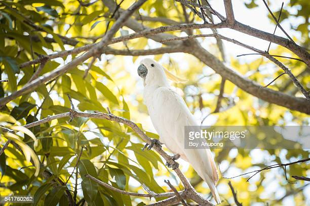 Cockatoo in the nature.