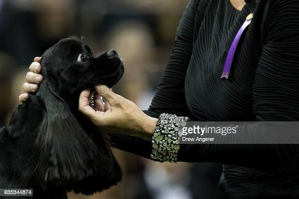 Cocker Spaniel competes during the sporting category on the final night at the Westminster Kennel Club Dog Show at Madison Square Garden February 14...