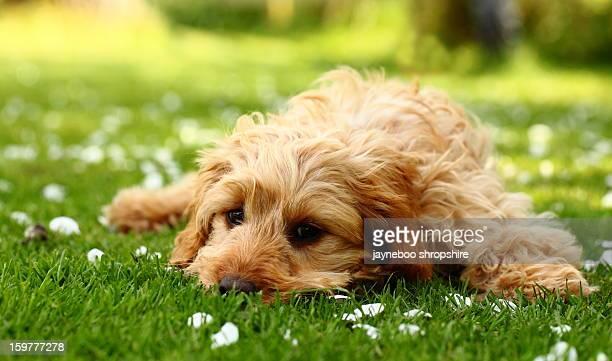 Cocker Spaniel Cross Poodle Cockerpoo Puppy