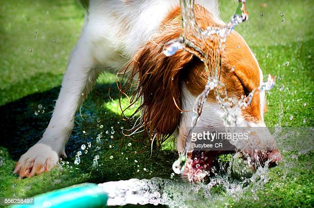 A Cocker spaniel dog drinking from a water hose