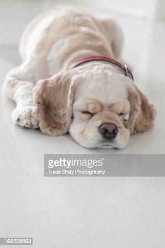 Cocker spaniel dog sleeping : Stock Photo