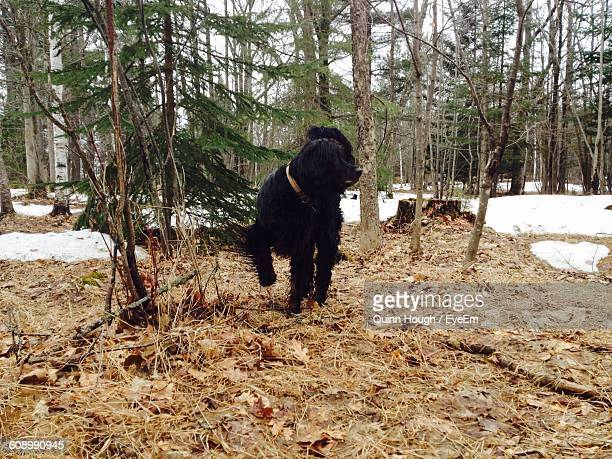 Cocker Spaniel Dog Standing On Field During Winter