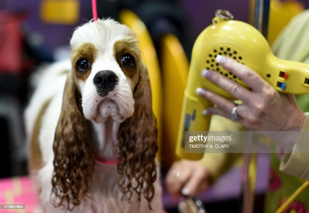 Cocker Spaniel gets groomed in the benching area February 16 2016 in New York during Day Two of competition at the Westminster Kennel Club 140th...
