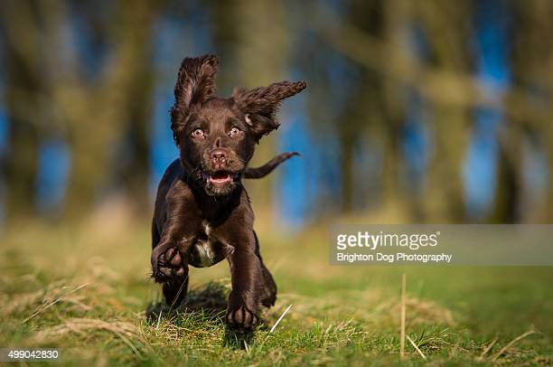 A Cocker Spaniel puppy running in a field
