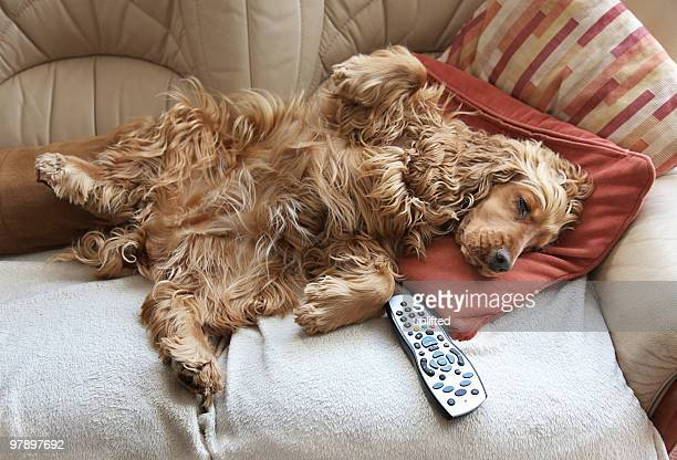 Cocker Spaniel entspannen Sie vor dem Fernseher