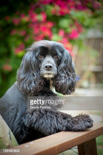 Cocker Spaniel sitting upright on an outdoor chair : Stock Photo