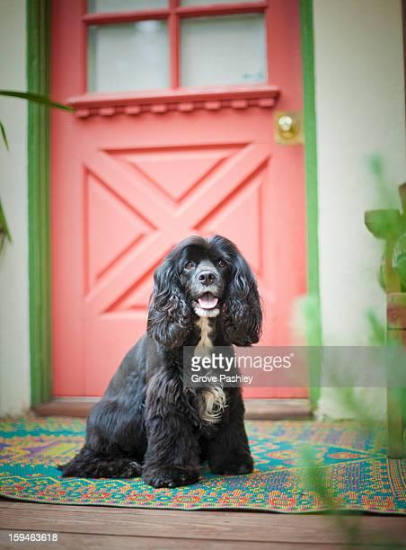 Cocker Spaniel waiting at front door