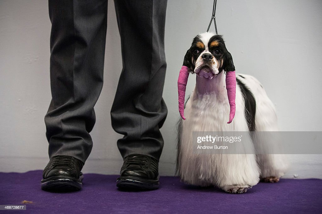 A cocker spaniel waits to compete in the Westminster Dog Show on February 11, 2014 in New York City. The annual dog show has been showcasing the best dogs from around world for the last two days in New York.