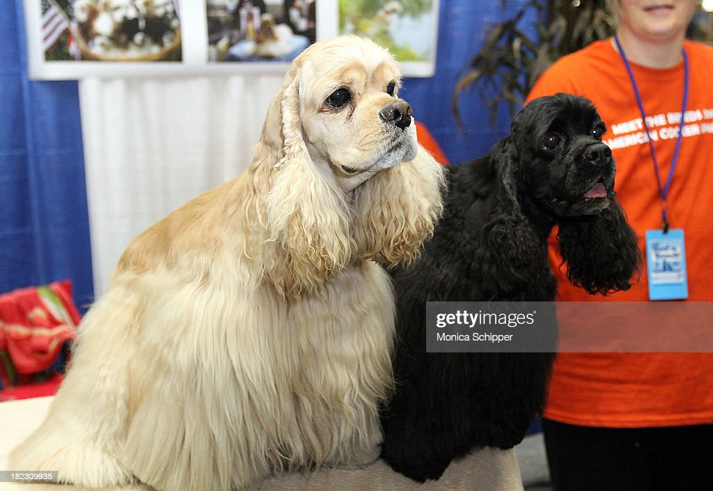 Cocker Spaniels at the American Kennel Club 'Meet The Breeds' Event at Jacob Javitz Center on September 28, 2013 in New York City.
