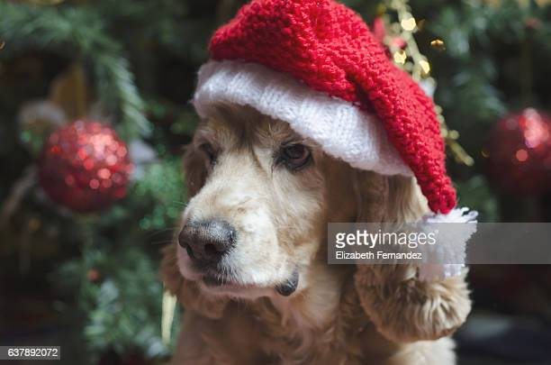 Cocker spaniels with Santa hat.