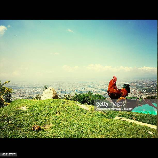 Cockerel On Hill, City In Background