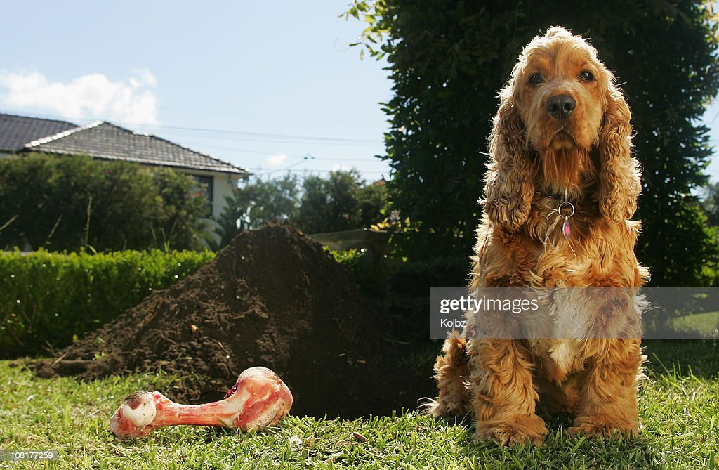 Cockerspaniel and Dog Bone Beside Large Dug Hole