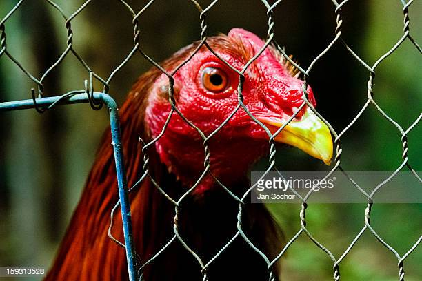 A cockfighting rooster looks on in a cage in the breeding station in Cucuta Colombia on May 01 2006 Cockfight is a widely popular and legal sporting...